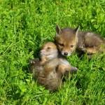 Frühsommer: Viele Tierkinder werden jetzt zu Waisen