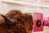 Zu sehen ist auch dieses Präparat eines Wisentkopfes, ein Geschenk des Forstamtes Neuenheerse für die naturkundliche Abteilung des Kreismuseums Wewelsburg. Der Wisentkopf wurde in Zusammenhang mit der Geschichte der heimischen Wälder gezeigt. Von 2006 bis 2009 borgte ihn sich der Flughafen als Werbeträger für den Kreis Paderborn aus. Alle heute noch lebenden Exemplare stammen von zwölf in Zoos und Tiergehegen lebenden Wisenten ab. Seit 1958 leben auch wieder Wisente im Gehege Hardehausen bei Warbung. Der Lokalsender Radio Hochstift verschaffte den seltenen Tieren jüngst Gehör, als mit Hilfe der Hörerinnen und Hörer ein Name für das kleine Wisent-Baby gesucht und gefunden wurde: Egzon (der Glückliche). (Foto: Lina Loos © Kreismuseum Wewelsburg)