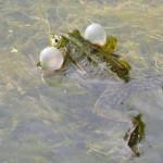 Von Süßwasserfischen und Konzerten am Tümpel