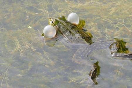 Quakender Frosch im Tümpel. Foto: © Dr. Klaus Wollmann