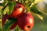 Geschmackvolle Boten des nahenden Herbstes: Reife Äpfel.Foto: Stadt Lübbecke