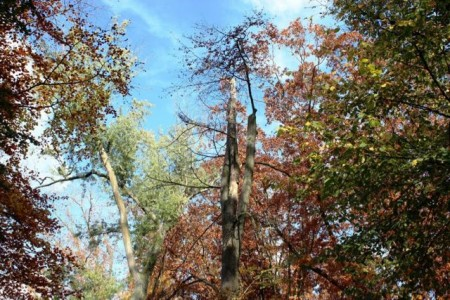 Abgestorbene obere Äste kennzeichnen die Wipfeldürre einiger Bäume im Stadtpark..Foto:Stadt Gütersloh
