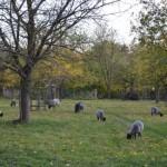 Seltene Gotlandschafe auf der Streuobstwiese des BUND Lemgo