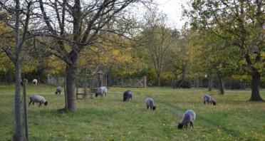 Seltene Gotlandschafe auf der Streuobstwiese des BUND Lemgo, Foto: Bund Lemgo