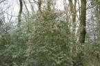 Wurde von den Vögeln bisher verschont: Dieser Ilex, in der Nähe der Externsteine, hat noch viele Beeren für die heimische Tierwelt übrig. Da die Beeren winterfest sind, können Vögel und Damwild lange davon zehren. Die Kombination aus rot und grün sorgt für schöne Farbtupfer im Wald.