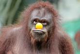 """Ein """"Apenköster"""" bezeichnet eine übertrieben alberne Person, die sich gerne mal zum Affen macht. Foto: Pixabay"""