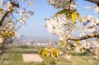 Kirschblüte (6)-1600x1086 (1)