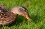 Symbolbild Ente Geflügelpest