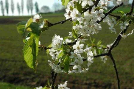 Blütezeit: 200 alte Obstsorten werden im LWL-Freilichtmuseum Detmold angebaut. Foto: LWL