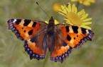 """Nicht nur Bienen freuen sich über blühende Wiesen, auch Insekten wie dieser """"Kleiner Fuchs"""" genannte Schmetterling finden Nahrung. Foto: Frank Grawe"""