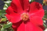 Die Lippische Rose