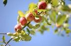 Wie aus Äpfeln Saft entsteht, können Interessierte im LWL-Freilichtmuseum Detmold erleben. Foto: LWL/Klein